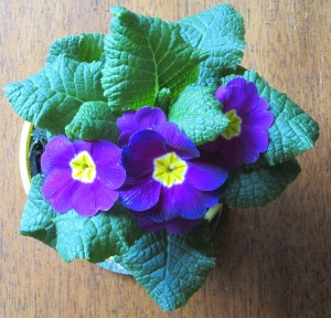 Cheery primrose in the winter!