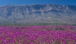 Atacama desert in bloom!