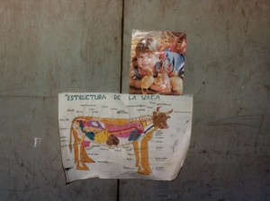 Anatomy of a cow on the village classroom wall.